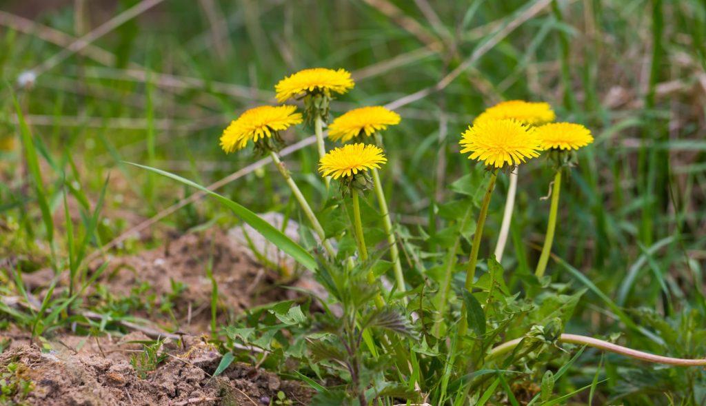 Dandelions - spring allergies